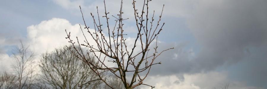 ongesnoeide appelaar James Grieve